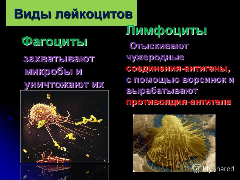 Виды лейкоцитов Фагоциты Фагоциты захватывают микробы и уничтожают их захватывают микробы и уничтожают их Лимфоциты Лимфоциты Отыскивают чужеродные соединения-антигены, с помощью ворсинок и вырабатывают противоядия-антитела Отыскивают чужеродные соед