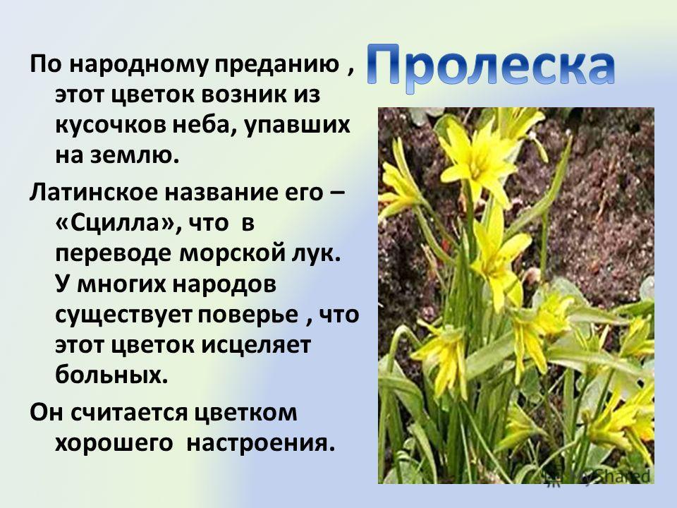 По народному преданию, этот цветок возник из кусочков неба, упавших на землю. Латинское название его – «Сцилла», что в переводе морской лук. У многих народов существует поверье, что этот цветок исцеляет больных. Он считается цветком хорошего настроен