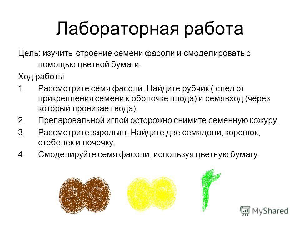 Лабораторная работа Цель: изучить строение семени фасоли и смоделировать с помощью цветной бумаги. Ход работы 1.Рассмотрите семя фасоли. Найдите рубчик ( след от прикрепления семени к оболочке плода) и семявход (через который проникает вода). 2.Препа
