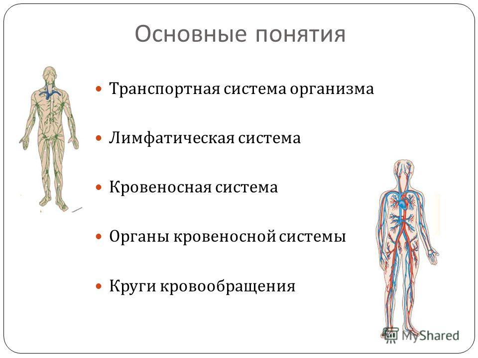 Основные понятия Транспортная система организма Лимфатическая система Кровеносная система Органы кровеносной системы Круги кровообращения