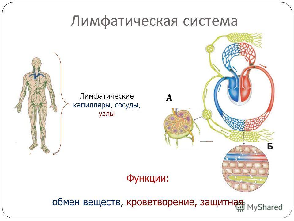 Лимфатическая система Лимфатические капилляры, сосуды, узлы А Функции: обмен веществ, кроветворение, защитная