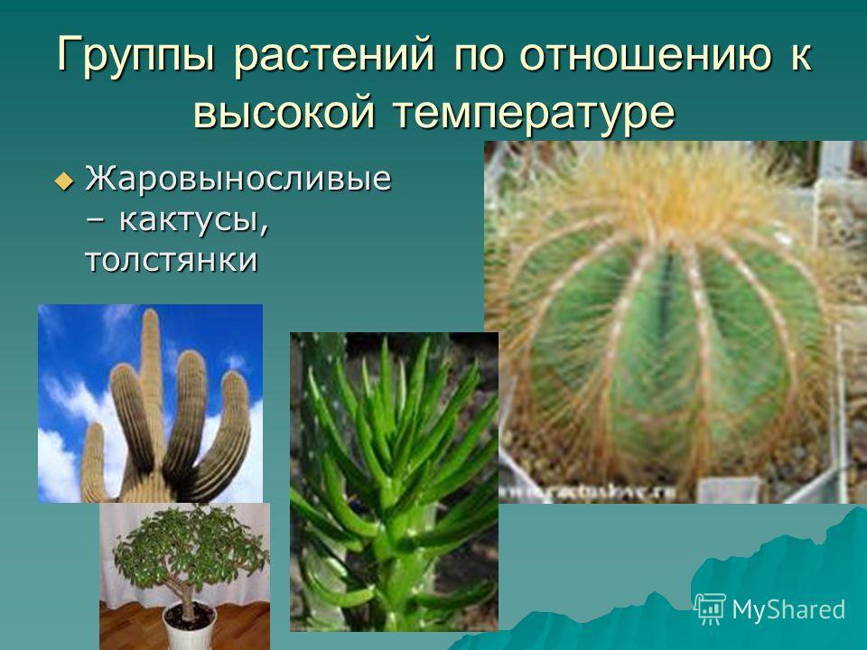 Группы растений по отношению к высокой температуре Жаровыносливые – кактусы, толстянки Жаровыносливые – кактусы, толстянки