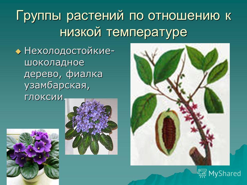 Группы растений по отношению к низкой температуре Нехолодостойкие- шоколадное дерево, фиалка узамбарская, глоксии. Нехолодостойкие- шоколадное дерево, фиалка узамбарская, глоксии.