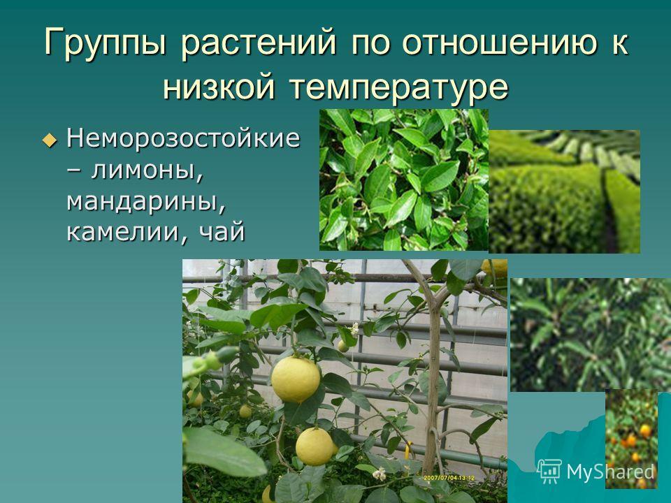 Группы растений по отношению к низкой температуре Неморозостойкие – лимоны, мандарины, камелии, чай Неморозостойкие – лимоны, мандарины, камелии, чай