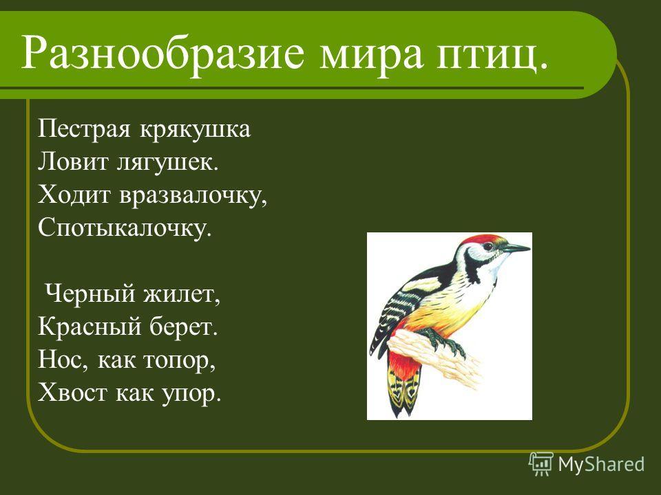 Разнообразие мира птиц. Пестрая крякушка Ловит лягушек. Ходит вразвалочку, Спотыкалочку. Черный жилет, Красный берет. Нос, как топор, Хвост как упор.