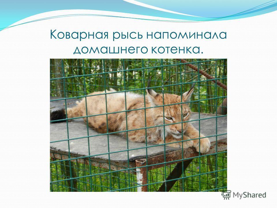 Коварная рысь напоминала домашнего котенка.