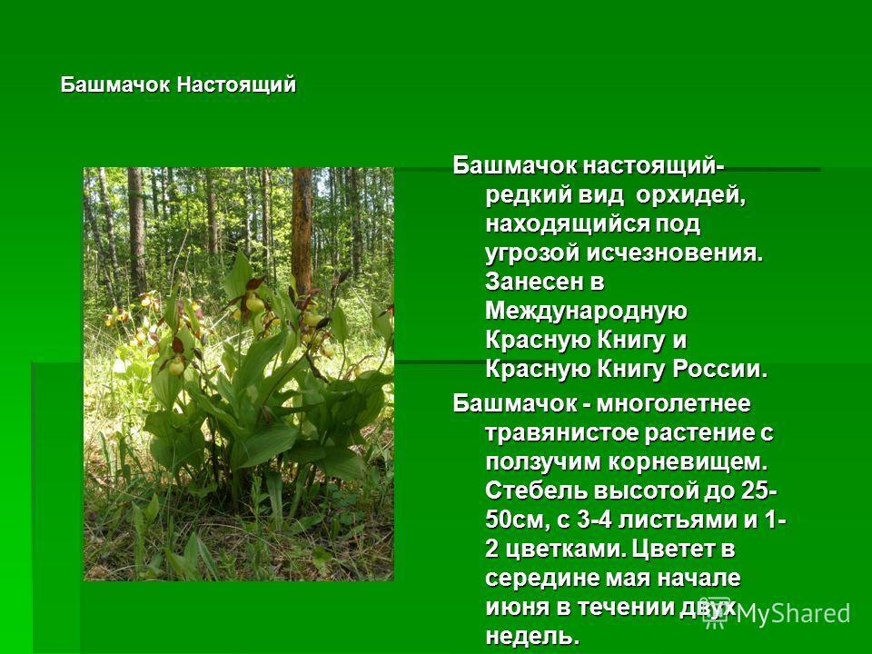 Башмачок Настоящий Башмачок настоящий- редкий вид орхидей, находящийся под угрозой исчезновения. Занесен в Международную Красную Книгу и Красную Книгу России. Башмачок - многолетнее травянистое растение с ползучим корневищем. Стебель высотой до 25- 5