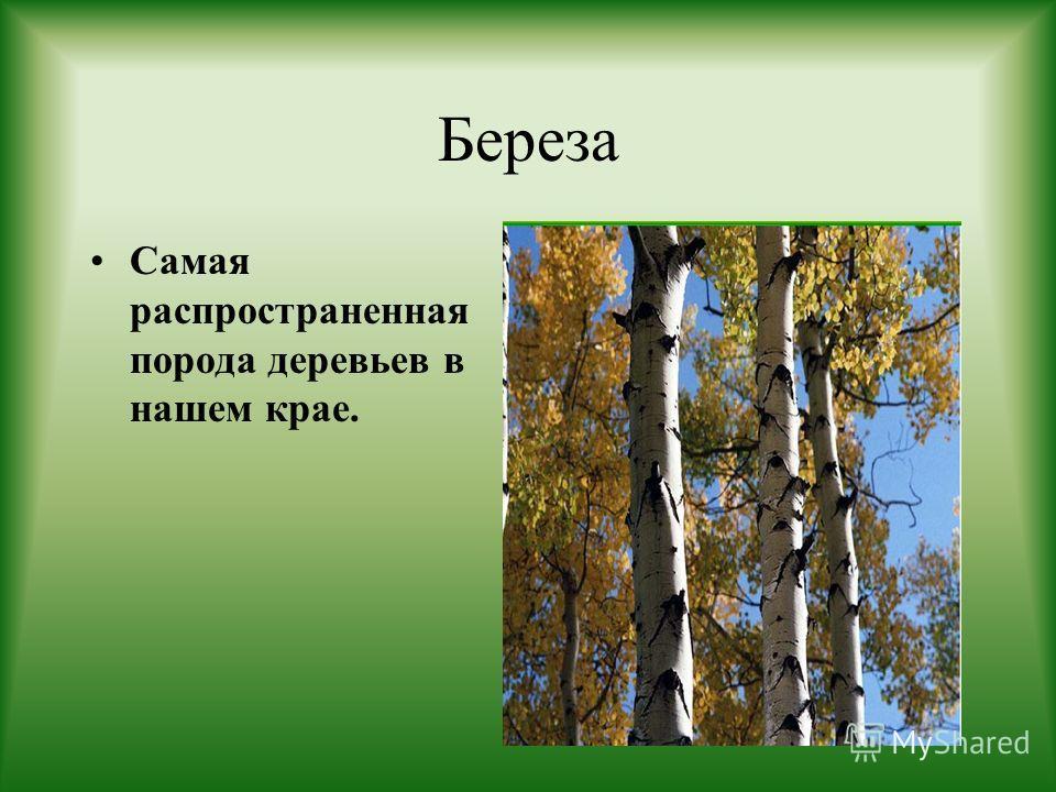 Береза Самая распространенная порода деревьев в нашем крае.