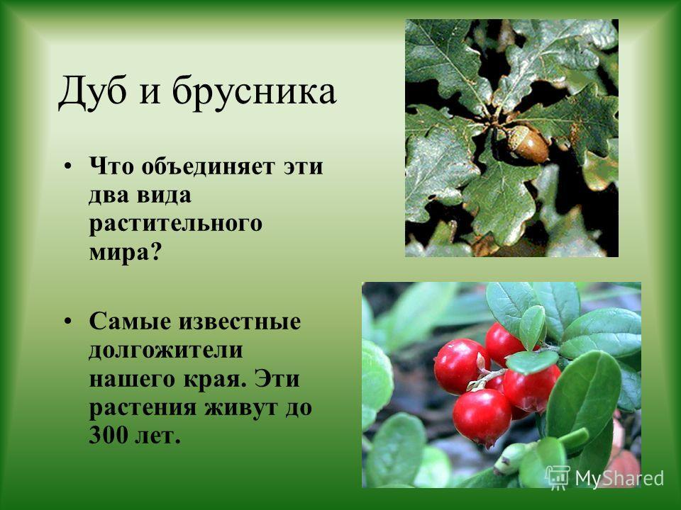 Дуб и брусника Что объединяет эти два вида растительного мира? Самые известные долгожители нашего края. Эти растения живут до 300 лет.