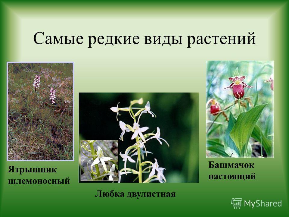 Самые редкие виды растений Ятрышник шлемоносный Любка двулистная Башмачок настоящий