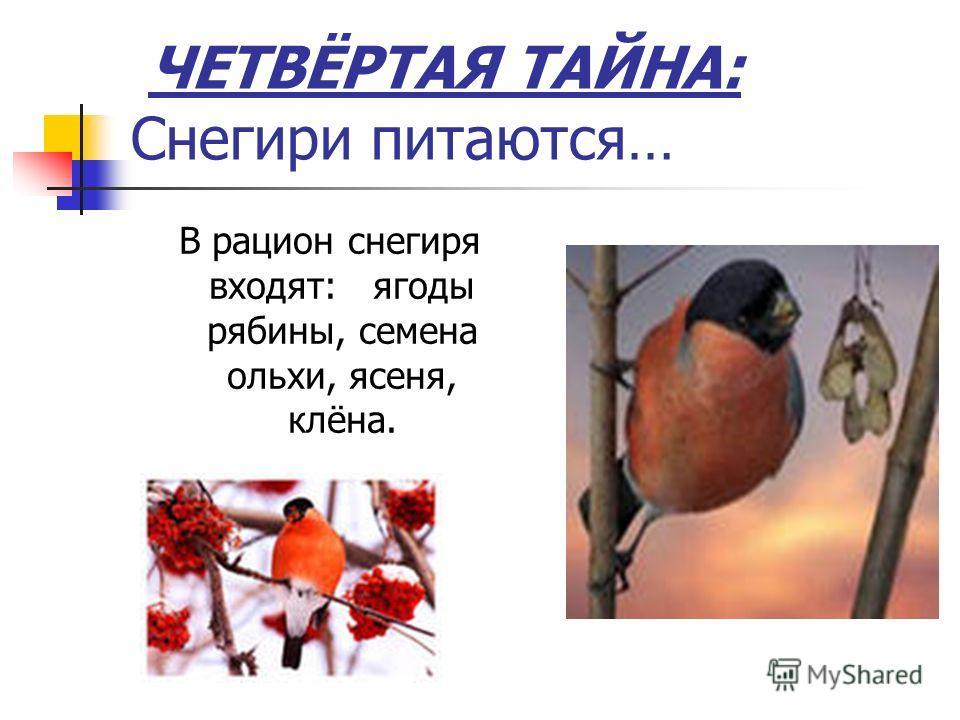 ЧЕТВЁРТАЯ ТАЙНА: Снегири питаются… В рацион снегиря входят: ягоды рябины, семена ольхи, ясеня, клёна.