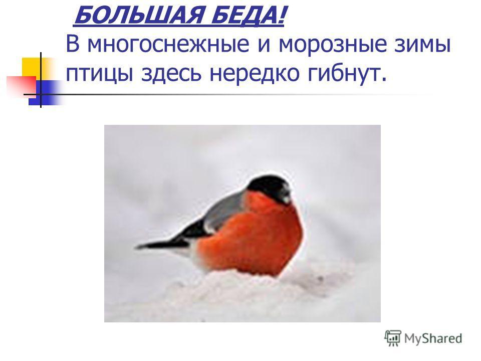 БОЛЬШАЯ БЕДА! В многоснежные и морозные зимы птицы здесь нередко гибнут.