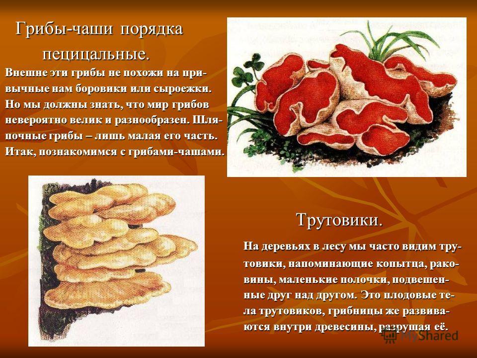 Грибы-чаши порядка пецицальные. Внешне эти грибы не похожи на при- вычные нам боровики или сыроежки. Но мы должны знать, что мир грибов невероятно велик и разнообразен. Шля- почные грибы – лишь малая его часть. Итак, познакомимся с грибами-чашами. Тр