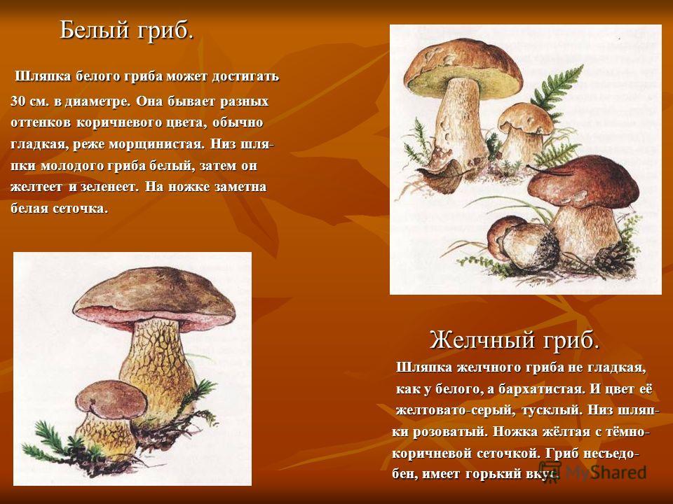 Белый гриб. Шляпка белого гриба может достигать 30 см. в диаметре. Она бывает разных оттенков коричневого цвета, обычно гладкая, реже морщинистая. Низ шля- пки молодого гриба белый, затем он желтеет и зеленеет. На ножке заметна белая сеточка. Желчный