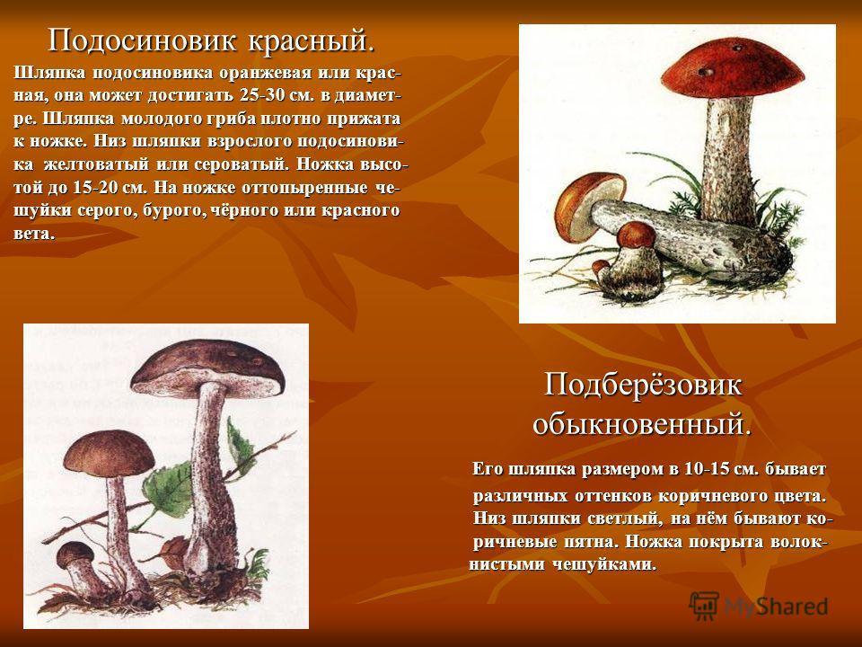Подосиновик красный. Шляпка подосиновика оранжевая или крас- ная, она может достигать 25-30 см. в диамет- ре. Шляпка молодого гриба плотно прижата к ножке. Низ шляпки взрослого подосинови- ка желтоватый или сероватый. Ножка высо- той до 15-20 см. На