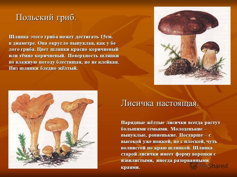 Польский гриб. Шляпка этого гриба может достигать 15см. в диаметре. Она округло-выпуклая, как у бе- лого гриба. Цвет шляпки красно-коричневый или тёмно-коричневый. Поверхность шляпки во влажную погоду блестящая, но не клейкая. Низ шляпки бледно-жёлты