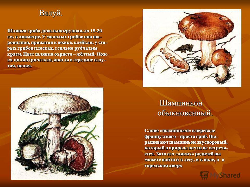Валуй. Шляпка гриба довольно крупная, до 15-20 см. в диаметре. У молодых грибов она ша- ровидная, прижатая к ножке, клейкая, у ста- рых грибов плоская, с сильно рубчатым краем. Цвет шляпки охристо – жёлтый. Нож- ка цилиндрическая, иногда в середине в