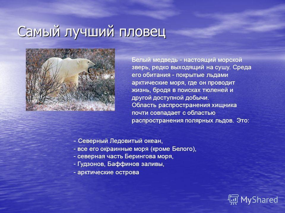 Самый лучший пловец Белый медведь - настоящий морской зверь, редко выходящий на сушу. Среда его обитания - покрытые льдами арктические моря, где он проводит жизнь, бродя в поисках тюленей и другой доступной добычи. Область распространения хищника поч