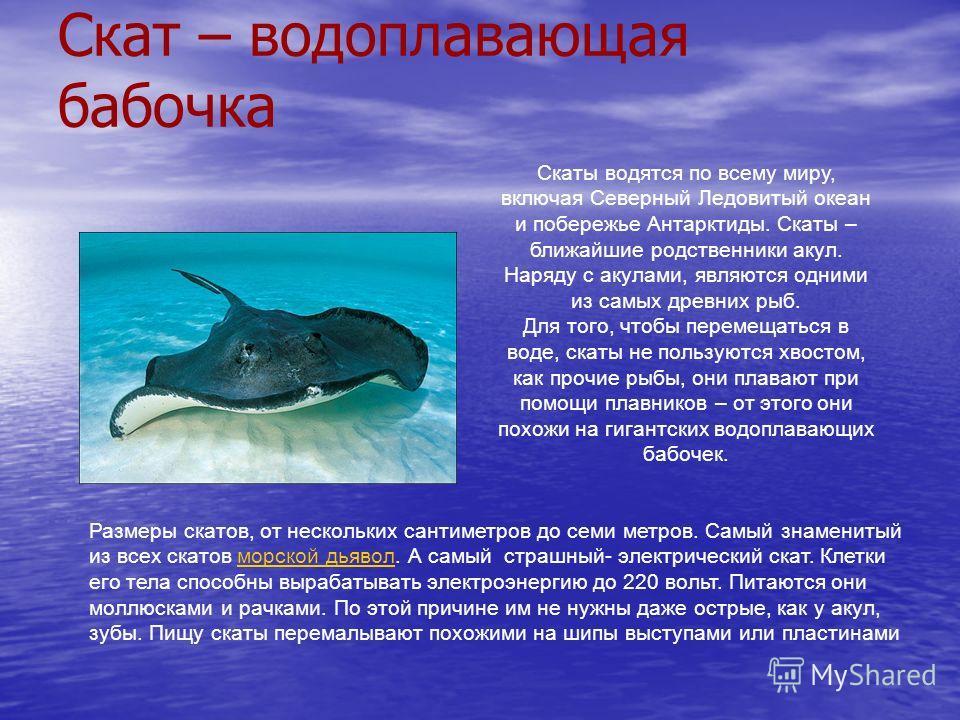 Скат – водоплавающая бабочка Скаты водятся по всему миру, включая Северный Ледовитый океан и побережье Антарктиды. Скаты – ближайшие родственники акул. Наряду с акулами, являются одними из самых древних рыб. Для того, чтобы перемещаться в воде, скаты
