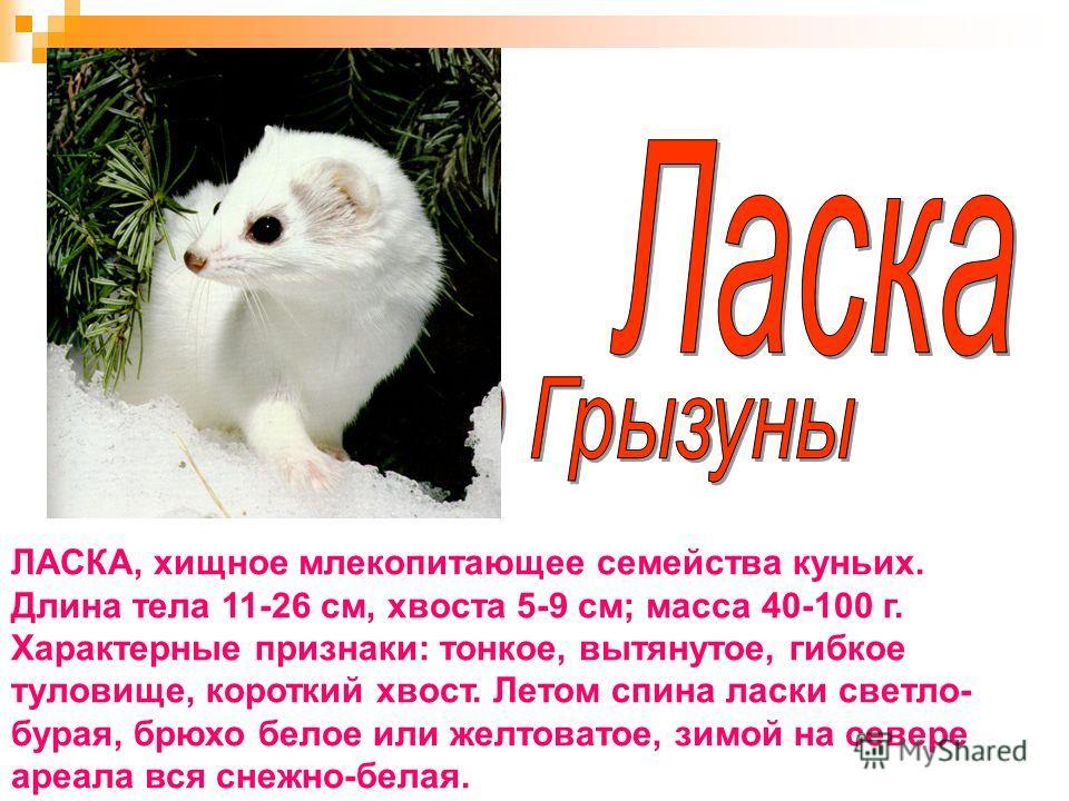 ЛАСКА, хищное млекопитающее семейства куньих. Длина тела 11-26 см, хвоста 5-9 см; масса 40-100 г. Характерные признаки: тонкое, вытянутое, гибкое туловище, короткий хвост. Летом спина ласки светло- бурая, брюхо белое или желтоватое, зимой на севере а