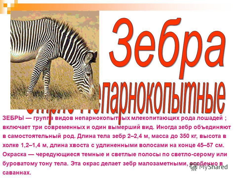 ЗЕБРЫ группа видов непарнокопытных млекопитающих рода лошадей ; включает три современных и один вымерший вид. Иногда зебр объединяют в самостоятельный род. Длина тела зебр 2–2,4 м, масса до 350 кг, высота в холке 1,2–1,4 м, длина хвоста с удлиненными