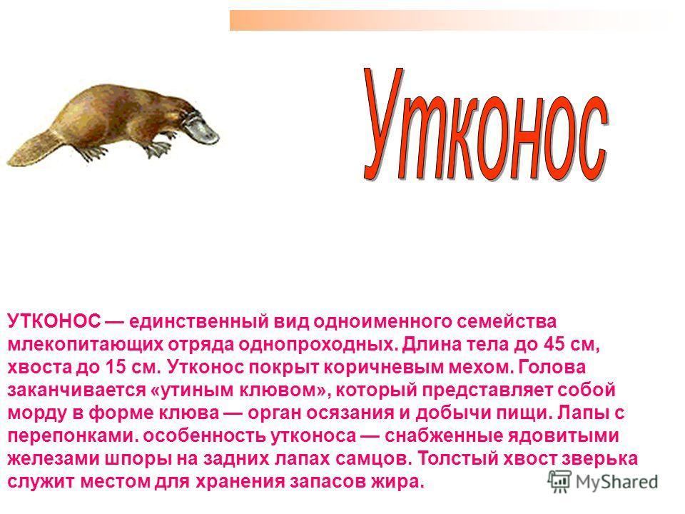 УТКОНОС единственный вид одноименного семейства млекопитающих отряда однопроходных. Длина тела до 45 см, хвоста до 15 см. Утконос покрыт коричневым мехом. Голова заканчивается «утиным клювом», который представляет собой морду в форме клюва орган осяз