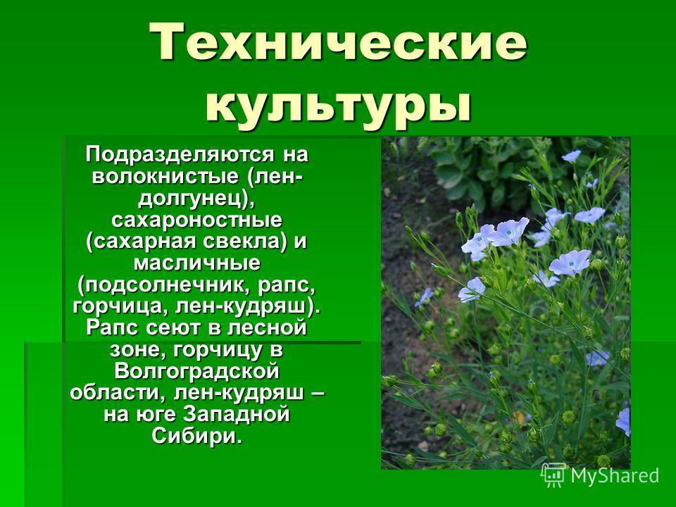 Технические культуры Подразделяются на волокнистые (лен- долгунец), сахароностные (сахарная свекла) и масличные (подсолнечник, рапс, горчица, лен-кудряш). Рапс сеют в лесной зоне, горчицу в Волгоградской области, лен-кудряш – на юге Западной Сибири.