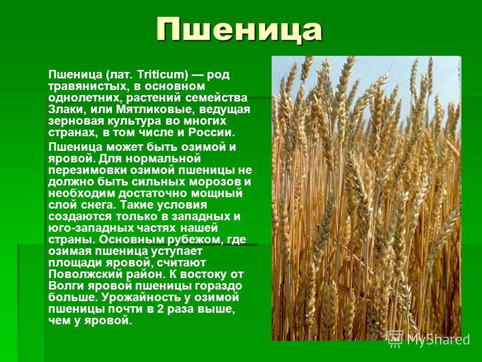 Пшеница Пшеница (лат. Triticum) род травянистых, в основном однолетних, растений семейства Злаки, или Мятликовые, ведущая зерновая культура во многих странах, в том числе и России. Пшеница может быть озимой и яровой. Для нормальной перезимовки озимой