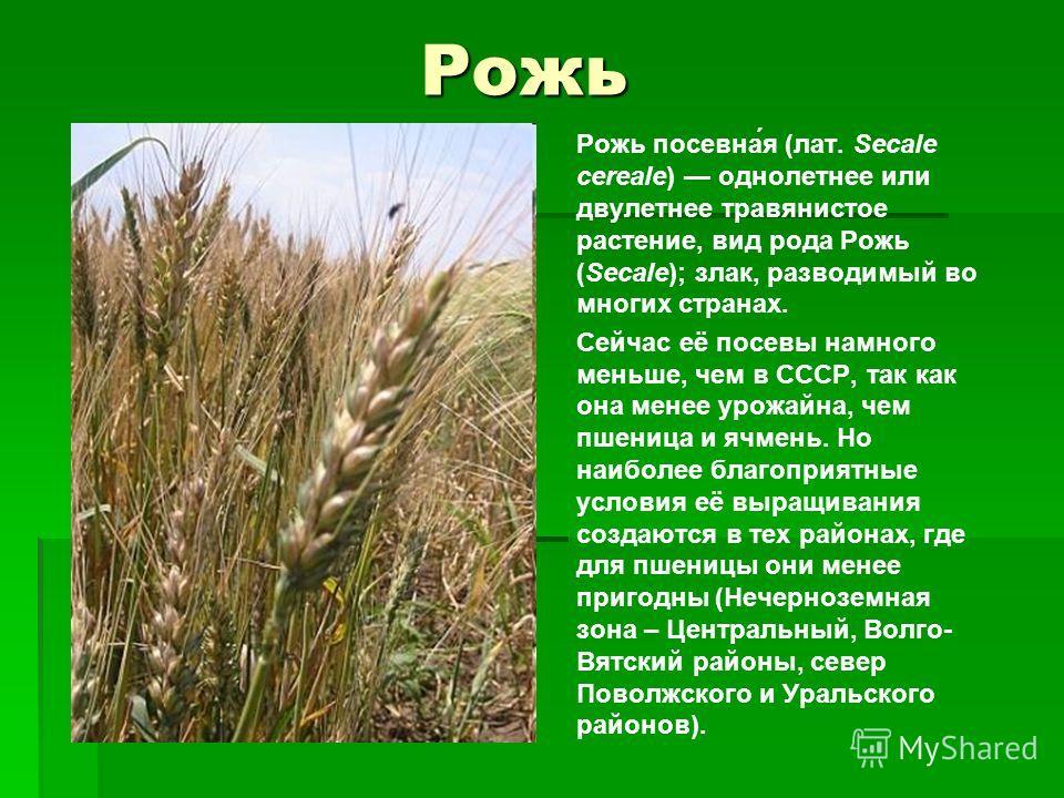 Рожь Рожь посевна́я (лат. Secale cereale) однолетнее или двулетнее травянистое растение, вид рода Рожь (Secale); злак, разводимый во многих странах. Сейчас её посевы намного меньше, чем в СССР, так как она менее урожайна, чем пшеница и ячмень. Но наи