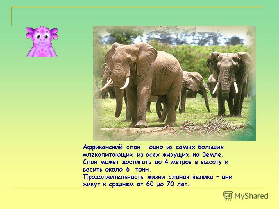 Африканский слон – одно из самых больших млекопитающих из всех живущих на Земле. Слон может достигать до 4 метров в высоту и весить около 6 тонн. Продолжительность жизни слонов велика – они живут в среднем от 60 до 70 лет.