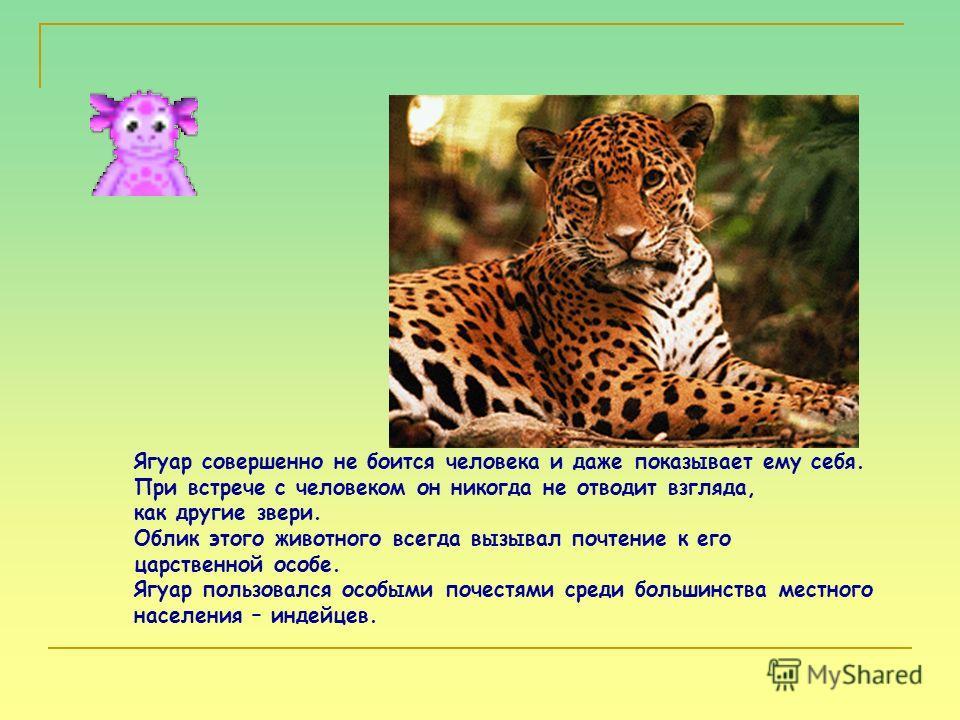 Ягуар совершенно не боится человека и даже показывает ему себя. При встрече с человеком он никогда не отводит взгляда, как другие звери. Облик этого животного всегда вызывал почтение к его царственной особе. Ягуар пользовался особыми почестями среди