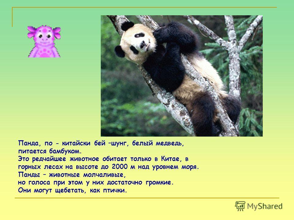 Панда, по - китайски бей –шунг, белый медведь, питается бамбуком. Это редчайшее животное обитает только в Китае, в горных лесах на высоте до 2000 м над уровнем моря. Панды – животные молчаливые, но голоса при этом у них достаточно громкие. Они могут