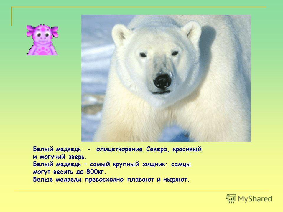 Белый медведь - олицетворение Севера, красивый и могучий зверь. Белый медведь – самый крупный хищник: самцы могут весить до 800кг. Белые медведи превосходно плавают и ныряют.
