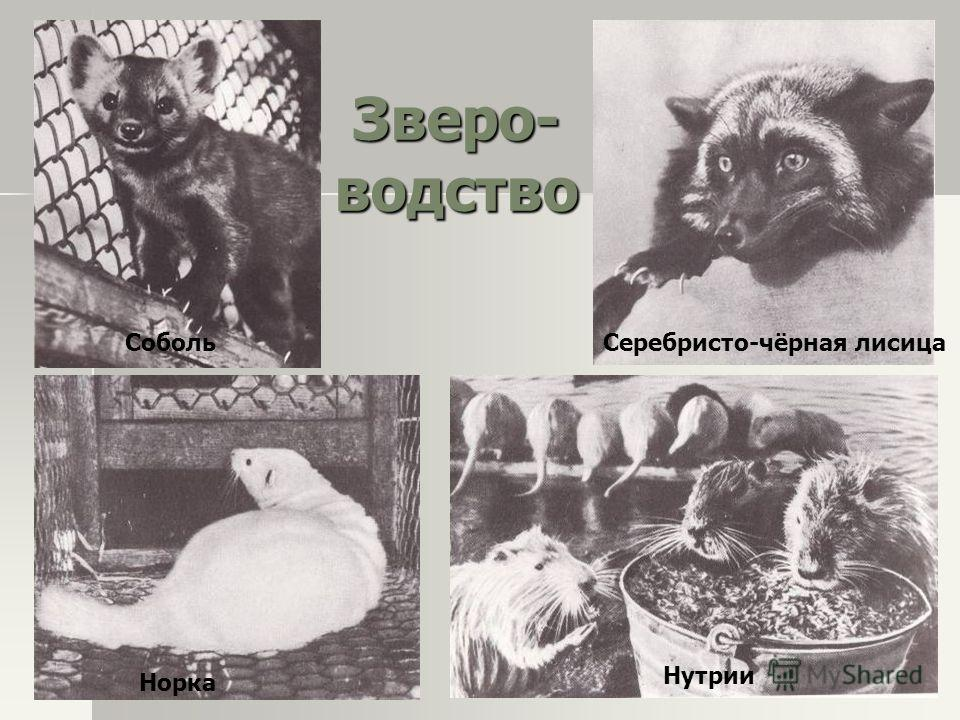 Зверо- водство СобольСеребристо-чёрная лисица Норка Нутрии