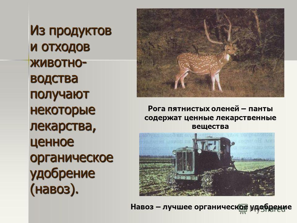 Из продуктов и отходов животно- водства получают некоторые лекарства, ценное органическое удобрение (навоз). Рога пятнистых оленей – панты содержат ценные лекарственные вещества Навоз – лучшее органическое удобрение