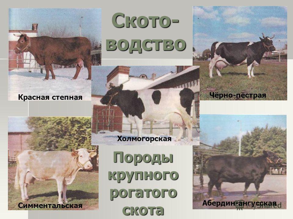Породы крупного рогатого скота Красная степная Чёрно-пёстрая Симментальская Абердин-ангусская Холмогорская Ското- водство