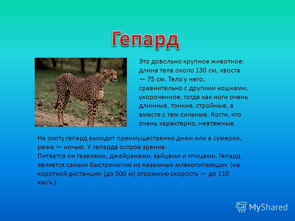 На охоту гепард выходит преимущественно днем или в сумерки, реже ночью. У гепарда острое зрение. Питается он газелями, джейранами, зайцами и птицами. Гепард является самым быстроногим из наземных млекопитающих (на короткой дистанции (до 500 м) огромн