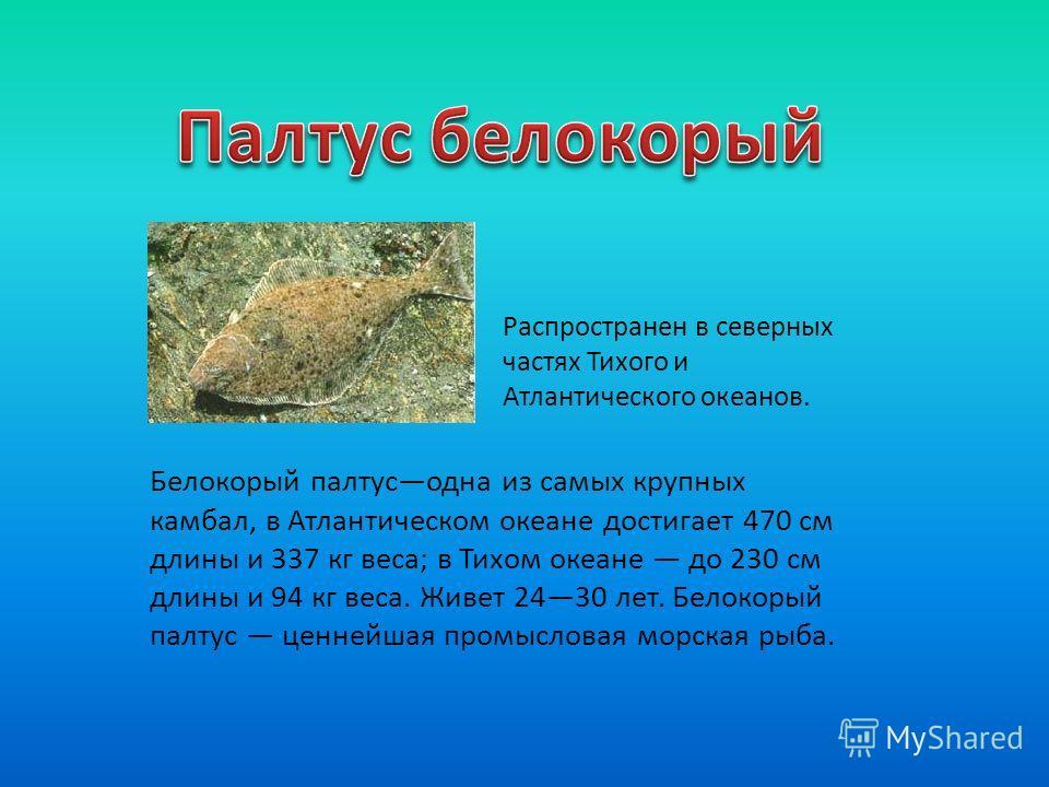 Белокорый палтусодна из самых крупных камбал, в Атлантическом океане достигает 470 см длины и 337 кг веса; в Тихом океане до 230 см длины и 94 кг веса. Живет 2430 лет. Белокорый палтус ценнейшая промысловая морская рыба. Распространен в северных част