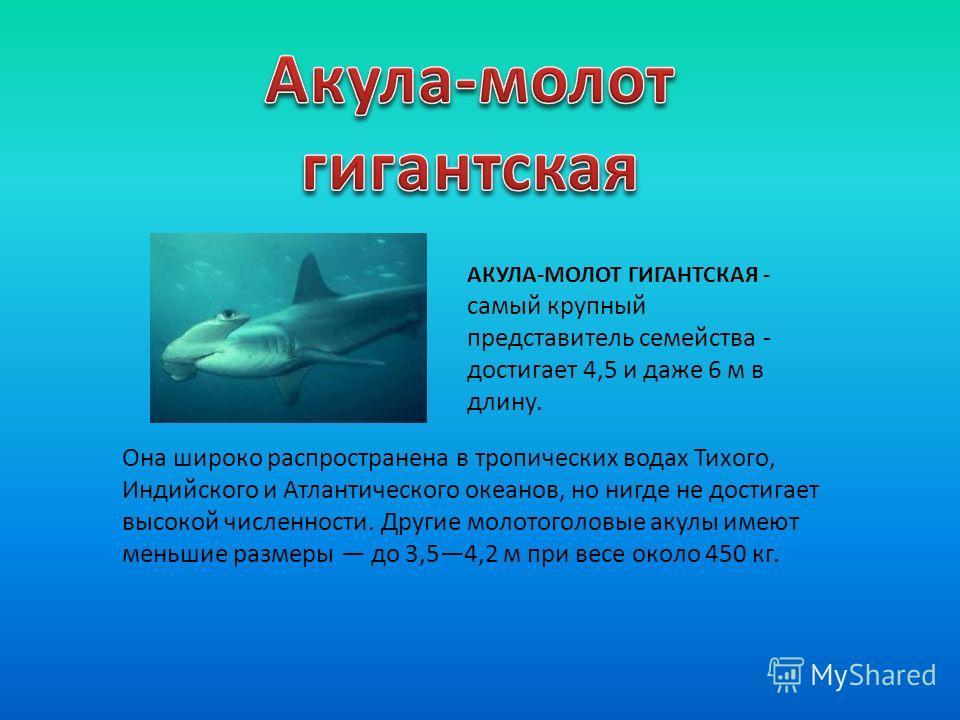 Она широко распространена в тропических водах Тихого, Индийского и Атлантического океанов, но нигде не достигает высокой численности. Другие молотоголовые акулы имеют меньшие размеры до 3,54,2 м при весе около 450 кг. АКУЛА-МОЛОТ ГИГАНТСКАЯ - cамый к