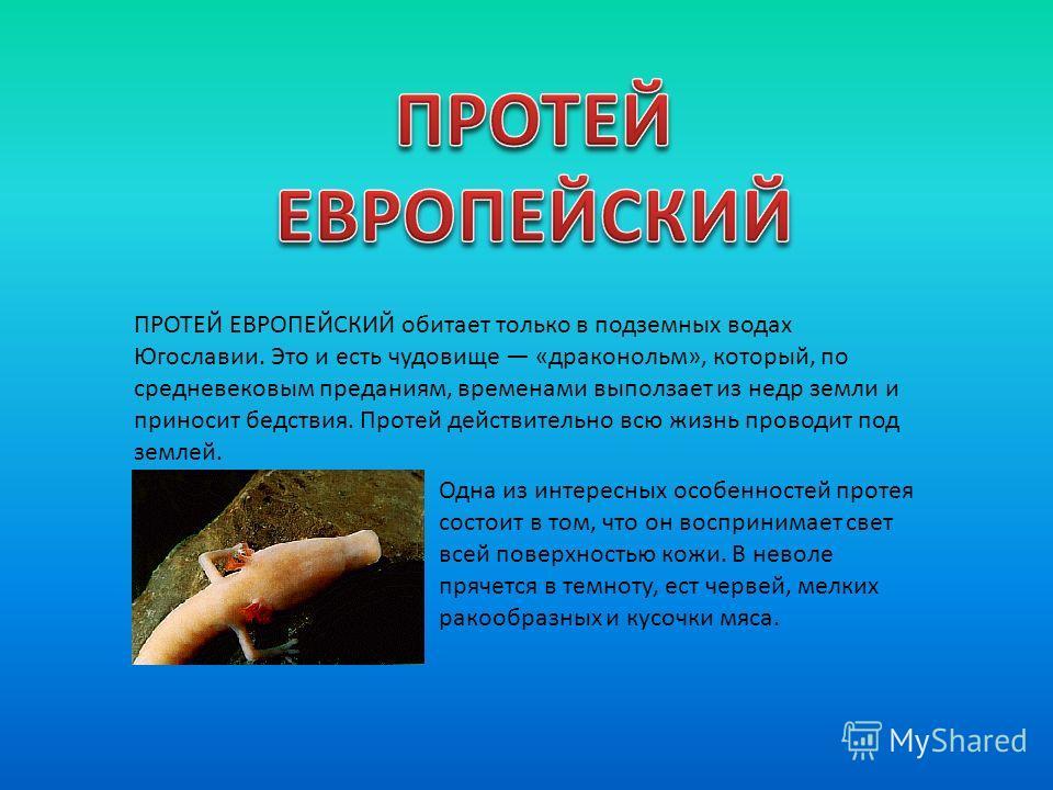 ПРОТЕЙ ЕВРОПЕЙСКИЙ обитает только в подземных водах Югославии. Это и есть чудовище «драконольм», который, по средневековым преданиям, временами выползает из недр земли и приносит бедствия. Протей действительно всю жизнь проводит под землей. Одна из и