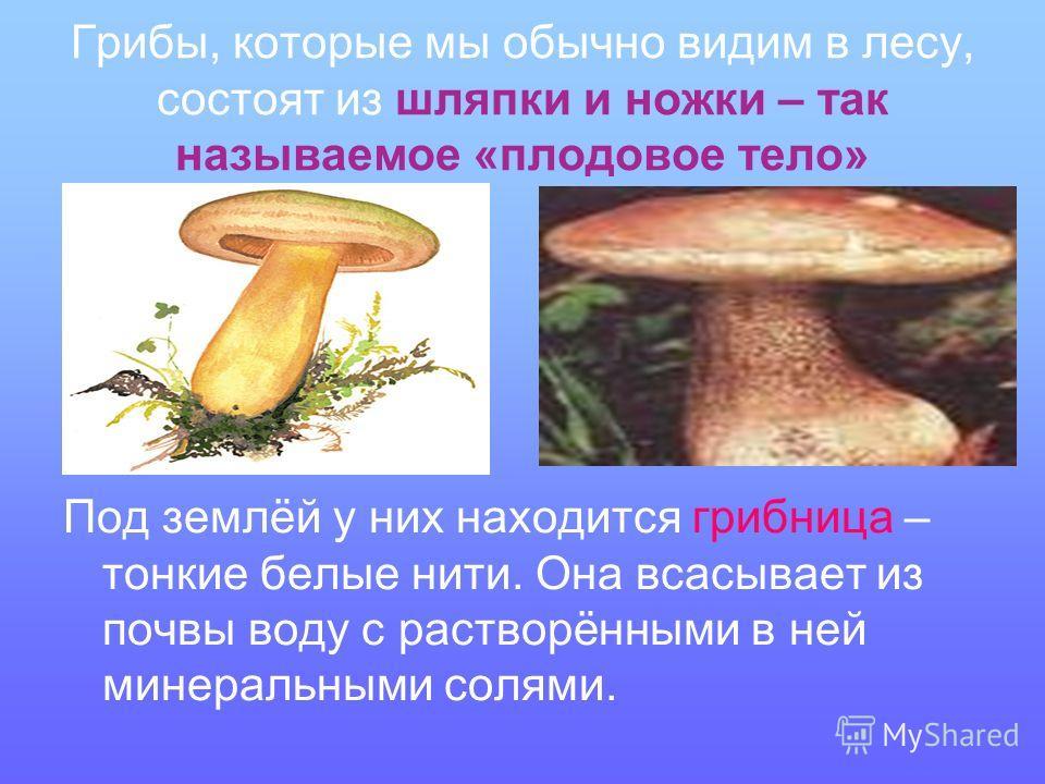 Грибы, которые мы обычно видим в лесу, состоят из шляпки и ножки – так называемое «плодовое тело» Под землёй у них находится грибница – тонкие белые нити. Она всасывает из почвы воду с растворёнными в ней минеральными солями.