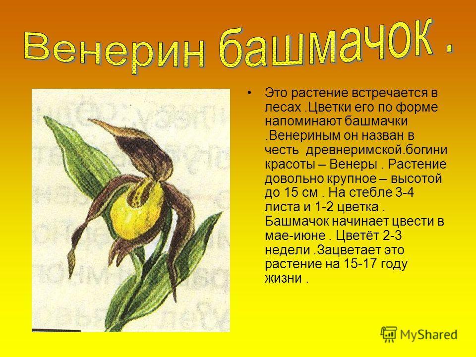 Это растение встречается в лесах.Цветки его по форме напоминают башмачки.Венериным он назван в честь древнеримской.богини красоты – Венеры. Растение довольно крупное – высотой до 15 см. На стебле 3-4 листа и 1-2 цветка. Башмачок начинает цвести в мае