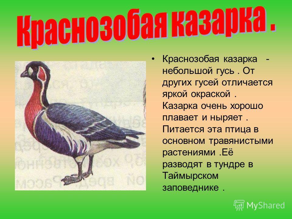 Краснозобая казарка - небольшой гусь. От других гусей отличается яркой окраской. Казарка очень хорошо плавает и ныряет. Питается эта птица в основном травянистыми растениями.Её разводят в тундре в Таймырском заповеднике.