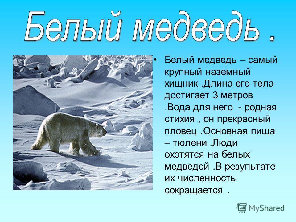 Белый медведь – самый крупный наземный хищник.Длина его тела достигает 3 метров.Вода для него - родная стихия, он прекрасный пловец.Основная пища – тюлени.Люди охотятся на белых медведей.В результате их численность сокращается.