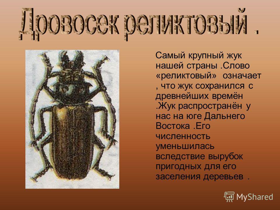 Самый крупный жук нашей страны.Слово «реликтовый» означает, что жук сохранился с древнейших времён.Жук распространён у нас на юге Дальнего Востока.Его численность уменьшилась вследствие вырубок пригодных для его заселения деревьев.