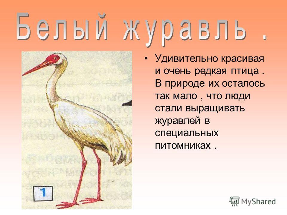 Удивительно красивая и очень редкая птица. В природе их осталось так мало, что люди стали выращивать журавлей в специальных питомниках.
