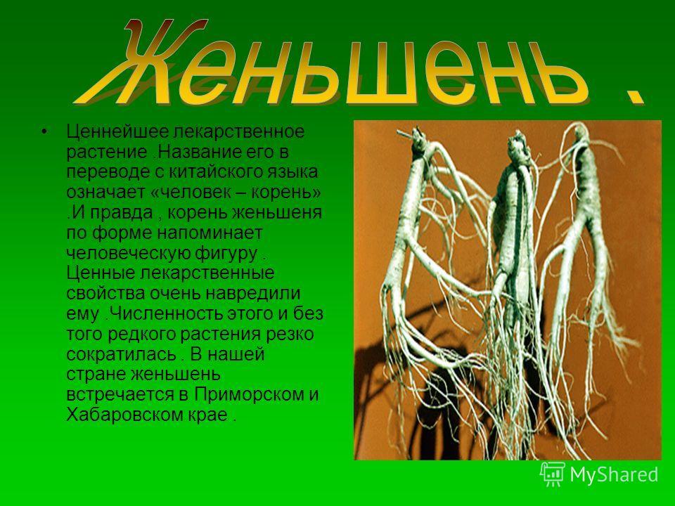 Ценнейшее лекарственное растение.Название его в переводе с китайского языка означает «человек – корень».И правда, корень женьшеня по форме напоминает человеческую фигуру. Ценные лекарственные свойства очень навредили ему.Численность этого и без того