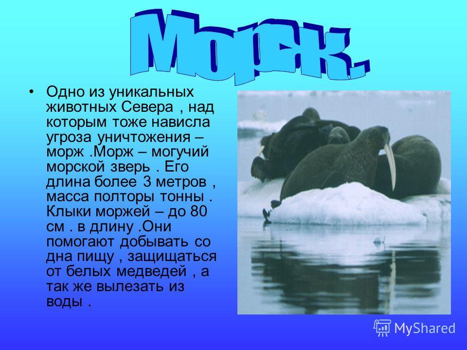 Одно из уникальных животных Севера, над которым тоже нависла угроза уничтожения – морж.Морж – могучий морской зверь. Его длина более 3 метров, масса полторы тонны. Клыки моржей – до 80 см. в длину.Они помогают добывать со дна пищу, защищаться от белы