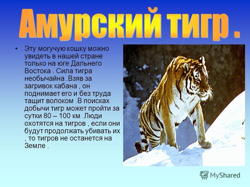 Эту могучую кошку можно увидеть в нашей стране только на юге Дальнего Востока. Сила тигра необычайна.Взяв за загривок кабана, он поднимает его и без труда тащит волоком.В поисках добычи тигр может пройти за сутки 80 – 100 км.Люди охотятся на тигров,