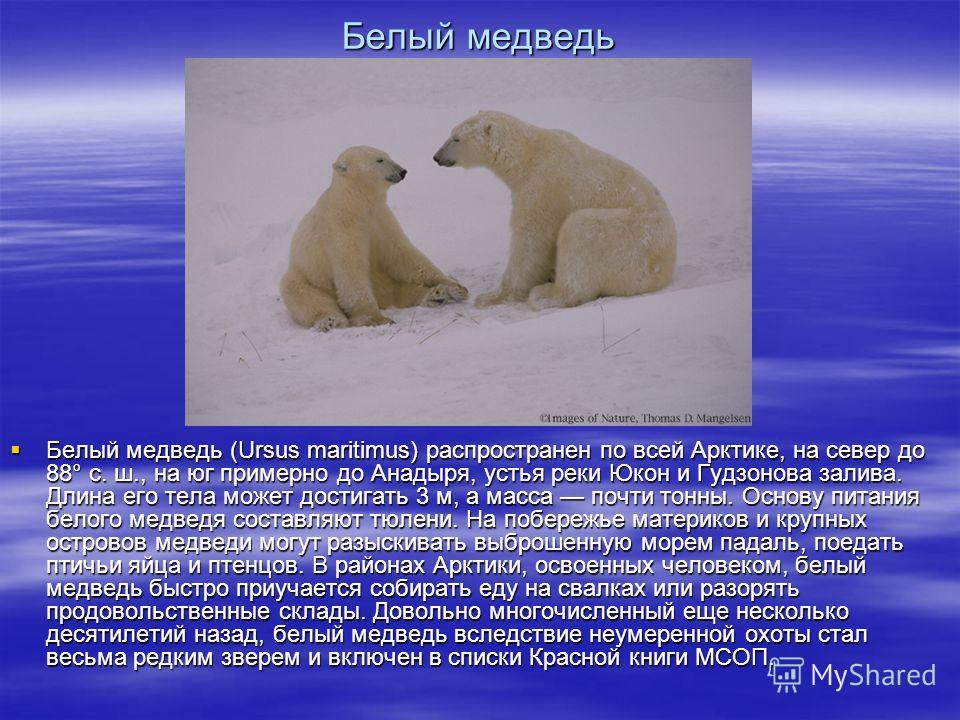 Белый медведь Белый медведь (Ursus maritimus) распространен по всей Арктике, на север до 88° с. ш., на юг примерно до Анадыря, устья реки Юкон и Гудзонова залива. Длина его тела может достигать 3 м, а масса почти тонны. Основу питания белого медведя